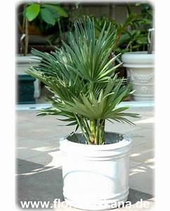 Palme Winterhart Kübel : chamaerops humilis vulcano kompakte zwerg palme flora ~ Michelbontemps.com Haus und Dekorationen