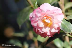 camellia pictures images 119