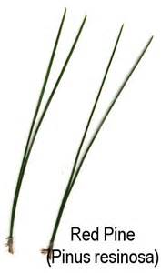 conifer thumbnails
