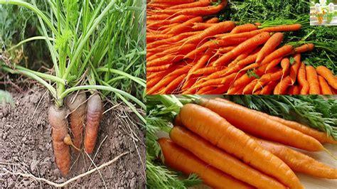 การปลูกแครอทไว้กินเองที่บ้าน!!!ด้วยวิธีง่ายๆค่ะ - YouTube