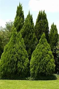 Evergreen Trees In Green Yard Stock Photo