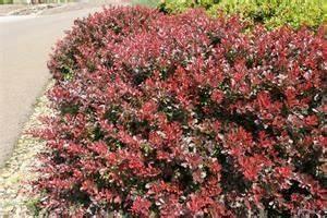 Berberis Thunbergii Atropurpurea Nana : crimson pygmy japanese barberry berberis thunbergii 39 atropurpurea nana 39 pnw plants full sun ~ Pilothousefishingboats.com Haus und Dekorationen
