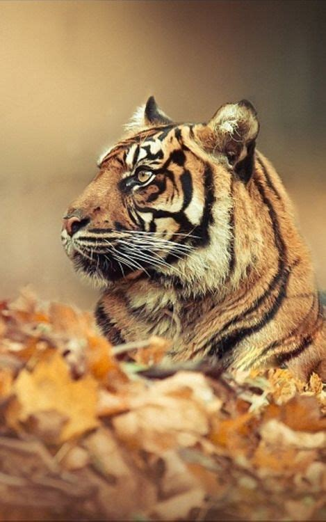 lion tiger wallpapers   gallery