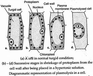 Labelled diagram of a plant root image collections how to guide and diagram of plasmolysed plant cell image collections how ccuart Choice Image