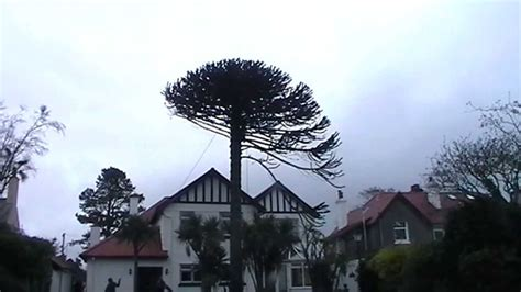 Monkey Puzzle Tree Removal