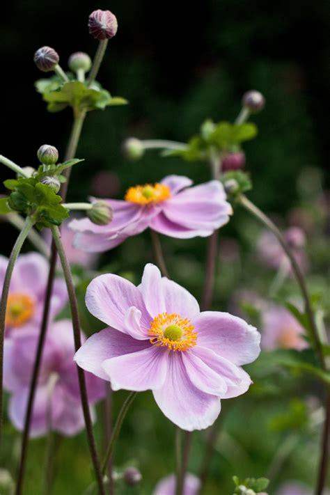 Garden flowers : Dainty Japanese Anemones...   Lisa Cox ...