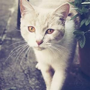 Cream tabby she-cat with dark amber eyes | Cute Cats ...