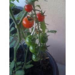 Planter Graine Tomate : plantation tomates cerises good comment planter tomates plantation comment planter graine ~ Dallasstarsshop.com Idées de Décoration