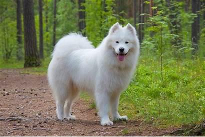 Samoyed Dog Breed Fluffy Dogs Breeds Biggest