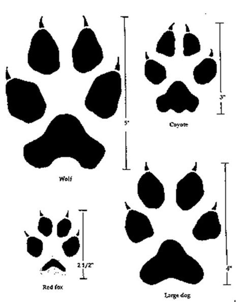 Comparing the tracks or pawprints of a wolf, a coyote, a
