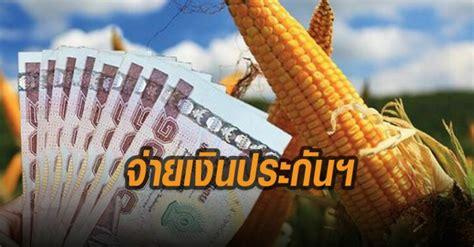 รัฐบาลเตรียมจ่ายเงินประกันฯ ผู้ปลูกข้าวโพดเลี้ยงสัตว์เริ่ม ...