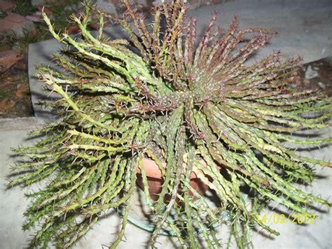 euphorbia pugniformis cactofili