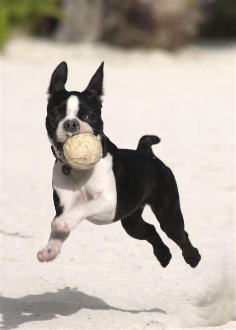 pets boston terrier