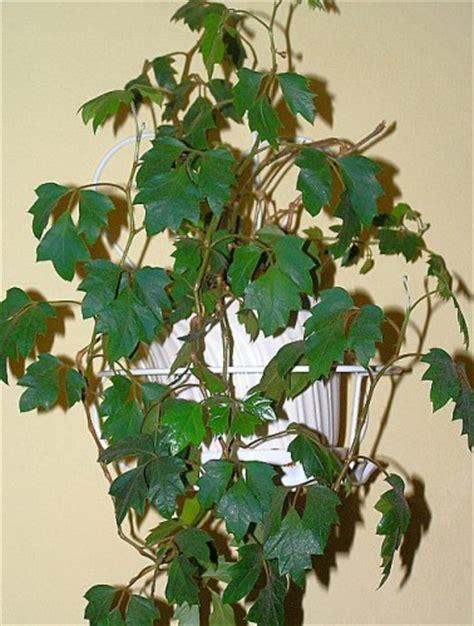 Zimmerpflanzen Datenbank Klimme by Rautenbl 228 Ttrige Klimme Cissus Rhombifolia Danica