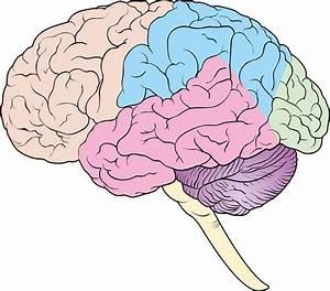34 Unlabeled Brain Diagram