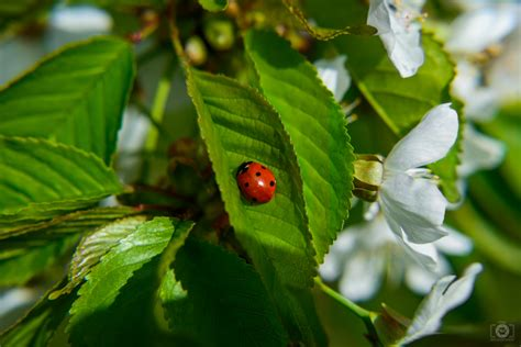 spring branch  ladybug background high quality