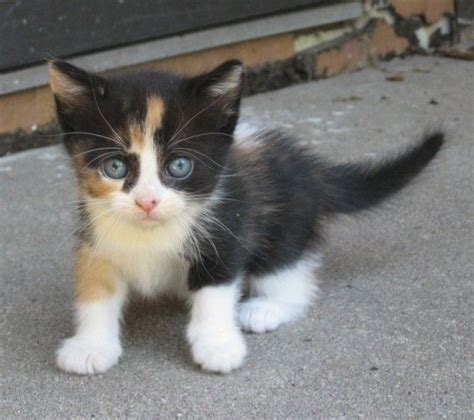 cat names for calicos calico kitten animals pinterest