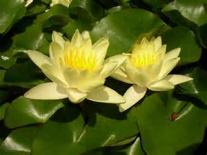 Yellow Lily Flower Names