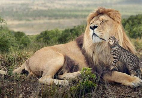 lion cut  cats cat grooming services