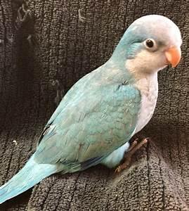 Blue Quaker Parrot  Blue
