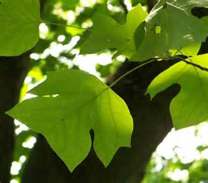 Tree Identification by Leaves
