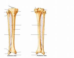 Anatomy Tibia And Fibula