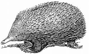 File Echidna  Psf  Png