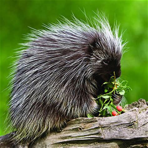 porcupine catseye pest control