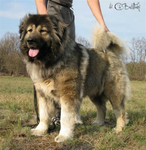 chien elevage des loups du garlaban eleveur de chiens