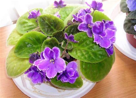 Tik skaisti ziedi! Vēlaties uzzināt noslēpumu, kā izaudzēt tik krāšņas vijolītes? - theBEST.lv
