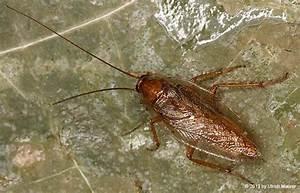 Kakerlaken Im Garten : sind schaben kakerlaken tiere insekten kaefer ~ Whattoseeinmadrid.com Haus und Dekorationen