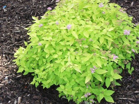 small shrubs for sun a guide to northeastern gardening limemound spirea