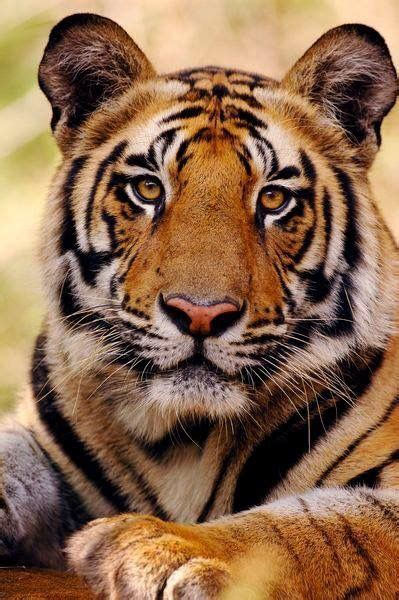 This Tiger Almost Red Cats Pinterest Animales