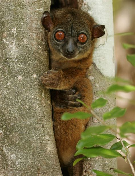 Meet The Planets 25 Most Endangered Primates Mnn
