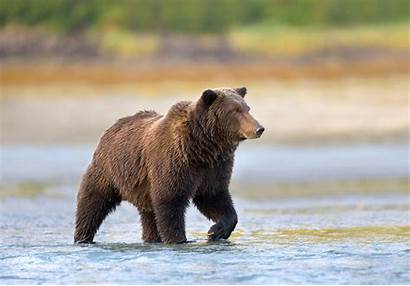 Bear Brown Bears Alaska Wildlife Alaskan Grizzly