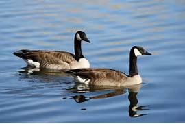 Pair of Geese on the Water Picture | Free Photograph ...