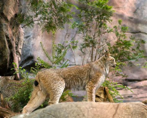 canadian lynx facts diet habitat pictures