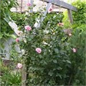 Wann Schneidet Man Rosen Zurück : rosen schneiden rosenschnitt einfache anleitung fotos bilder tipps rosa alle rosen und ~ Orissabook.com Haus und Dekorationen