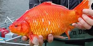 Pet Goldfish Do Not Belong Outside Their Tanks