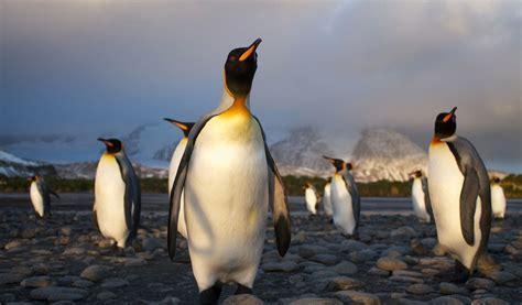 King Penguin  Facts, Diet & Habitat Information