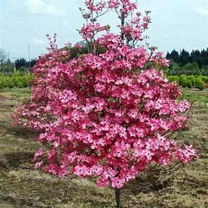 Cornus Florida Rubra : buy pink beauty flowering dogwood cornus florida 4 seeds online seeds hobbyseeds store ~ Frokenaadalensverden.com Haus und Dekorationen