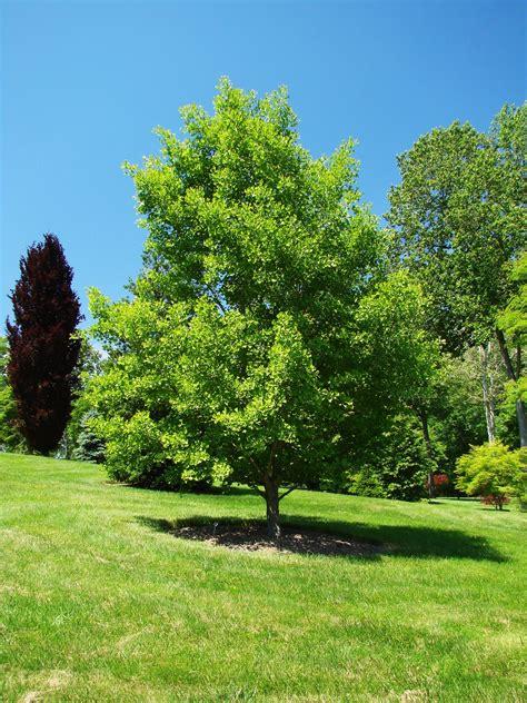 ginkgo tree ginkgo biloba gingko ginkgo ginkgophyta maidenhair tree gingko biloba