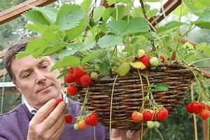 Faire Pousser Des Fraises : comment faire pousser ind finiment des fraises en int rieur ~ Melissatoandfro.com Idées de Décoration