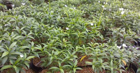 pohon remboja mini tanaman jenis melati jual tanaman hias