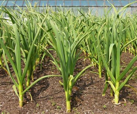 leeks   spring start seeds indoors  weeks