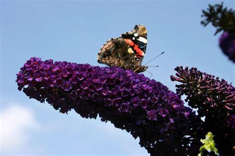 rhododendron niedrigere klassifizierungen sommerflieder schmetterlingsstrauch black buddleja davidii black