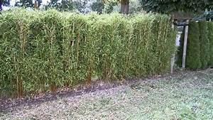 Bambus Sichtschutz Pflanzen : watch bambus pflanzen sichtschutz new sichtschutz zaun ~ Yasmunasinghe.com Haus und Dekorationen