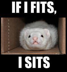 Ferret Meme - ferret meme google search memes pinterest ferrets ferret and meme
