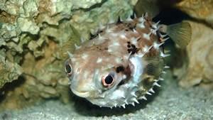 Ph Puffer Berechnen : puffed up blowfish aren 39 t holding their breath ~ Themetempest.com Abrechnung
