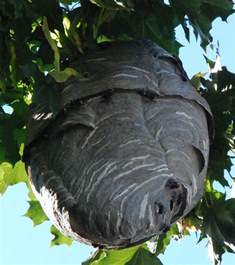 Large Wasp Nest in Tree
